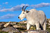 Mountain goat on a rocky hillside