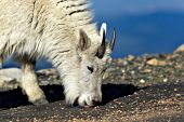 Young mountain goat licking minerals and salt from the roadside