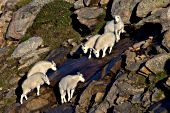 Group of mountain goat kids drinking runoff from melting snow