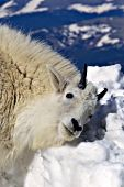 Mountain goat rubbing its head & neck in snow
