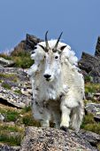 Shaggy mountain goat shedding its winter coat