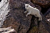 Mountain goat kid climbing a steep rock face
