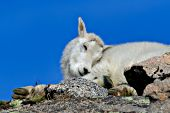 Mountain goat kid sleeping on top of a cliff
