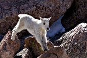 Mountain goat kid jumping from rock to to rock