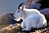 Mountain goat resting on a hillside at sunset
