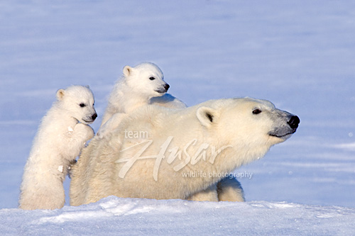 Polar bear & twin cubs Wapusk National Park, Manitoba, Canada