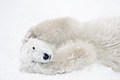 Polar bear rolling & playing in the snow