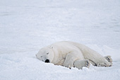 Polar bear sleeping in the snow
