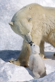 Polar bear cub vocalizing to its mother