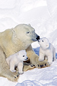 Polar bear with tiny twin cubs