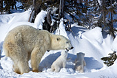 Polar bear mother and twin cubs