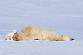 Polar bear sliding on the ice with her cub behind