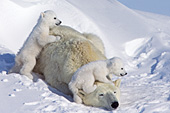 Polar bear cubs climbing on top of their mom