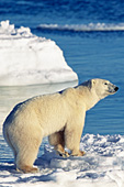 Polar bear standing on ice with open water behind