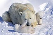Polar bear mom & twin cubs playing in the snow