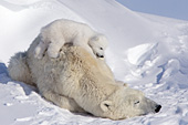 Polar bear cub sleeping on its mom