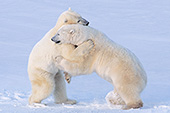 """Hugging"" polar bears"
