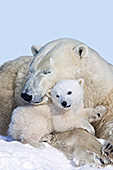 Polar bear mother & cub
