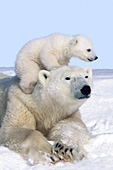 Polar bear cub climbing on top of its mother