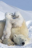 Twin polar bear cubs climbing & playing on top of their mother