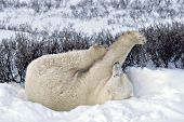 Polar bear rolling & stretching in snow