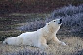 Polar bear resting on the tundra while wailting for colder weather