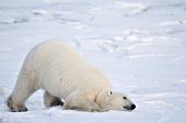 Polar bear sliding on the ice