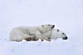 Polar bear cub sleeping on its mother's back