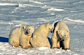 Polar bear mother & yearling cubs