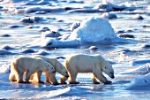Polar bear mom & cubs walking across the ice at sunrise