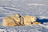 Polar bear mother & twin cubs resting on the ice