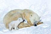 Polar bear cubs snuggling with their mom