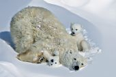 Polar bear mom with her two tiny cubs