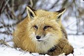 Red fox resting in snow