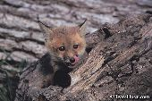 Red fox kit playing in a hollow log