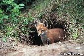 Fox kit standing at the den entrance
