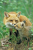 Red fox mom nuzzling her pup