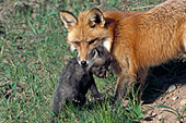 Red fox mom carrying her pup