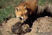 Red fox mom and pup near the den