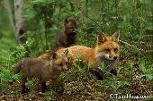 Fox mother and pups in the forest