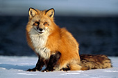 Adult fox on ice in a partially frozen river