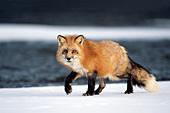 Fox walking on a frozen part of a river (winter)