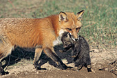 Red fox carrying her pup to the den