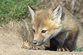 Fox pup investigating a toad
