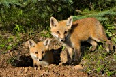 Two fox kits at the den entrance