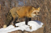 Adult fox standing on a snow-covered boulder