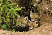 3 fox pups peeking out of their den
