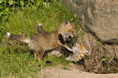 Sibling fox pups playing near their den