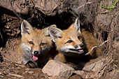 Sibling fox pups in their den
