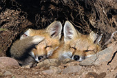 Sibling fox pups sleeping in their den